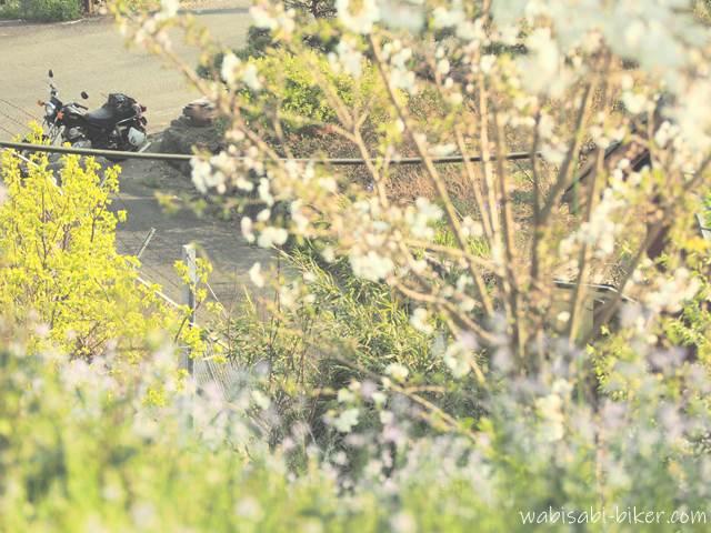 桜越しのバイク