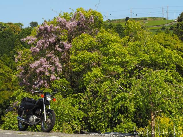 里山の藤の花とオートバイ