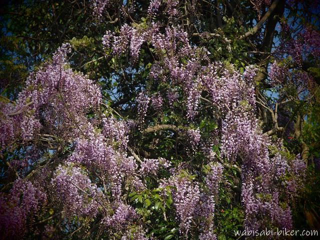 野生の藤の花