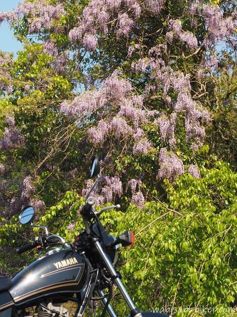 藤の花とバイク
