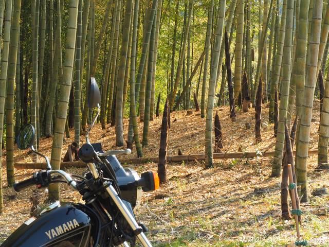 筍の生えた竹林とバイク