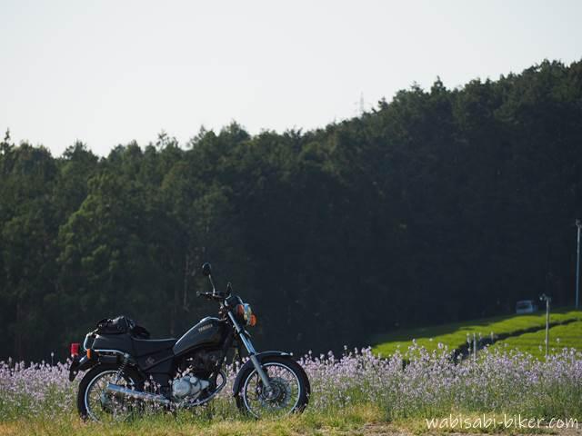 マツバウンランとオートバイ