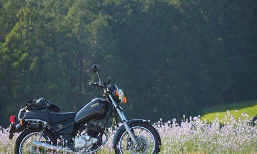 バイクとマツバウンラン