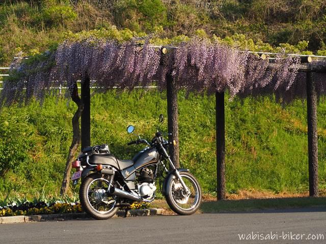 藤棚 藤の花とオートバイ