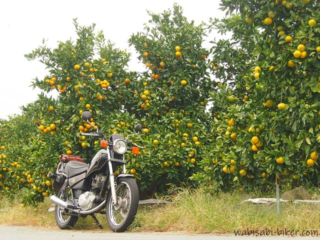 バイク写真 みかん畑とオートバイ