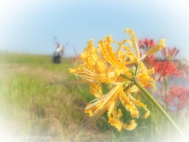 黄色い彼岸花とオートバイ