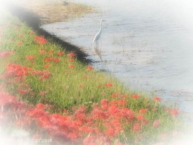 川沿いの彼岸花と白サギ