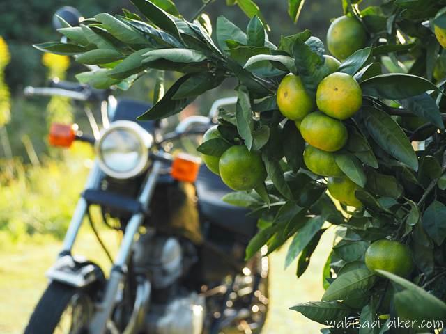 みかん畑とオートバイ