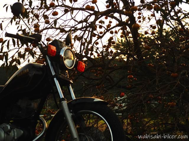 夕方の柿とオートバイ
