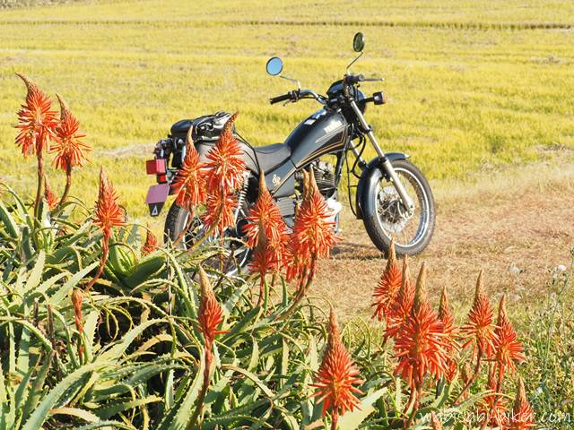 アロエの花とオートバイ