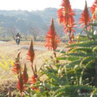 アロエの花と走るオートバイの自撮り