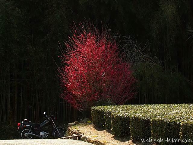 バイク写真 紅梅とオートバイ