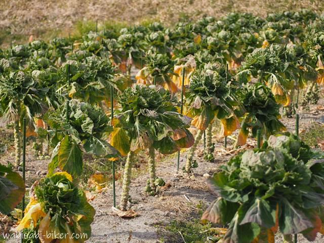 芽キャベツ畑