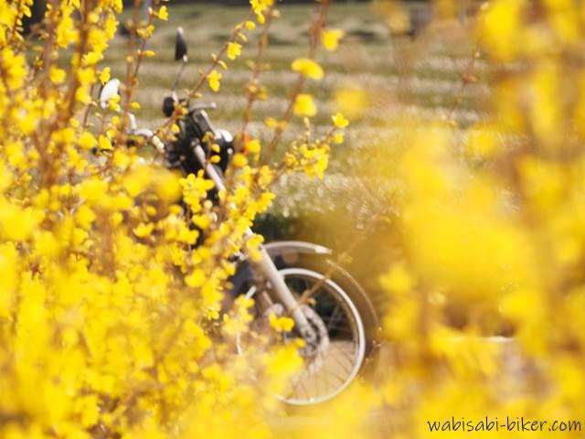 レンギョウの花とオートバイ