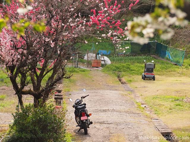 花桃と桜とオートバイとシニアカー