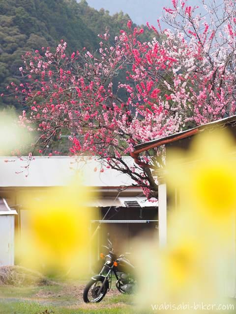 源平桃と水仙とオートバイ