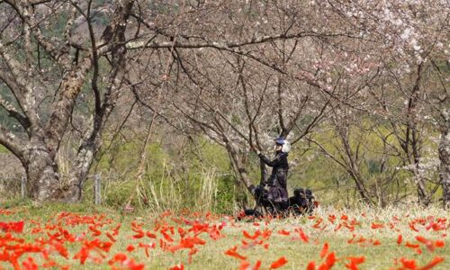 あかいささふねとオートバイと桜