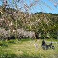 桜とバイク写真撮影☆セルフポートレート(自撮り)を楽しむ!
