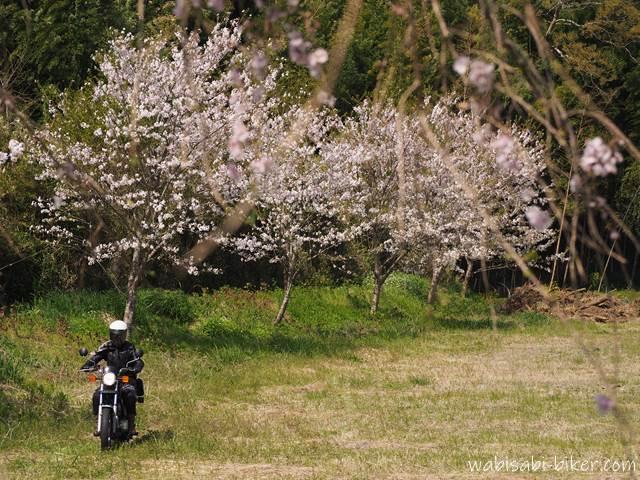 桜とオートバイ 走行自撮り