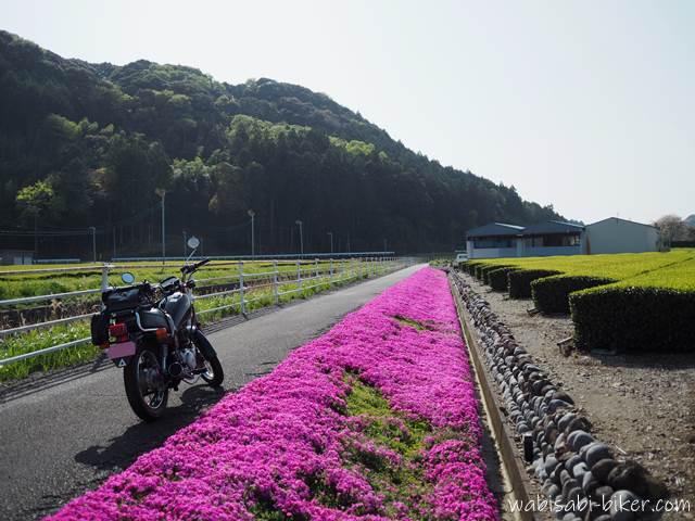 芝桜と茶畑の新芽とオートバイ