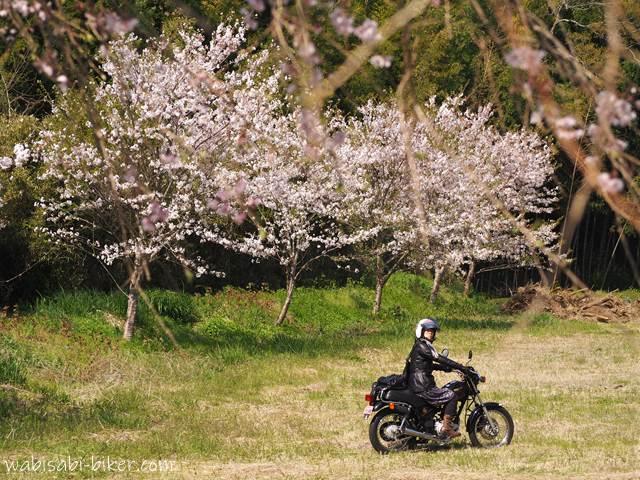 桜とオートバイと女性ライダー