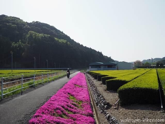 茶畑と芝桜の小道を走るオートバイ 自撮り
