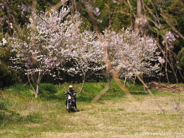 桜とオートバイ 自撮り