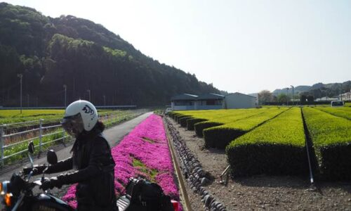 茶畑の新芽と芝桜とオートバイ 自撮り